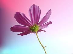 Kosmea (nalihaha) Tags: pink flower macro nature germany deutschland flora natur 1001nights blume blte flover cosmea masterphotos kosmea mimamorflowers naliha