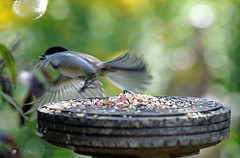 Take-off (KY Design and Photography) Tags: ca ontario canada tree bird nature flying inflight backyard nikon branch dof action bokeh ky wildlife guelph feeder seeds chickadee nikkor khalid allrightsreserved kal blackcapped d300 70300mmf4556gvr nikond300 kyphotography yousifie khalidyousifie