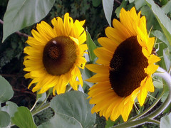Sonnenblumen (cammino) Tags: sonnenblume