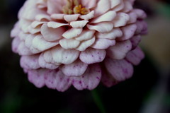 Sunday's gift... (basilly) Tags: garden lowlight dusk sunday freckles zinnia twotoned naturesfinest abigfave awesomecolours raspberryandcream giftofseed beautifulsoftdof