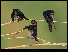 cleaning moment   (mohammad khorshid (boali)) Tags: bird birds canon photography is wildlife birding cleaning clean kuwait usm 4l ef osk q8 mohd  kwt   600mm   1dmk2n khorshed     kwvc