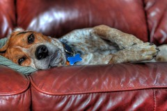 Brodey Relaxed (GregMatthews) Tags: dog beagle canon couch t1i