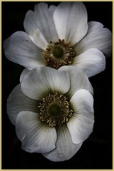 (^Diana^) Tags: white flower nature linkinpark notextureadded adjustedcontrastonly