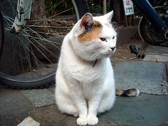 新宿ゴールデン街の三毛猫