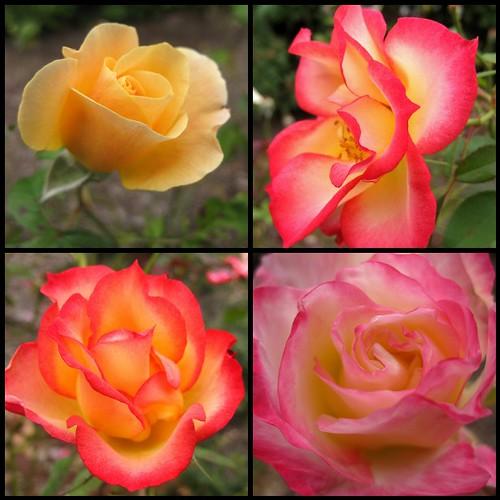 NIH roses