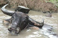 Taking a bath (jefflee103) Tags: animal river tour vietnam mekongdelta mekong waterbuffalo