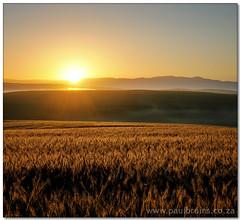Golden Grain (Panorama Paul) Tags: sunrise bec wheatfield piketberg nohdr nikfilters vertorama nikond300 wwwpaulbruinscoza paulbruinsphotography