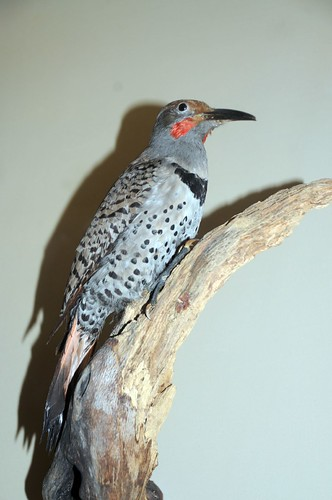 guadelupe flicker