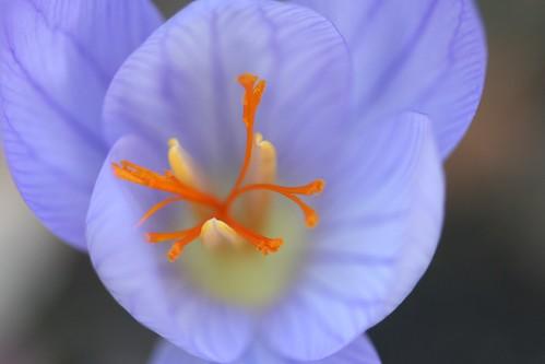 saffron crocus 2