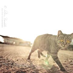 the stalker (Ąиđч) Tags: light wild pet andy yellow backlight cat eyes dof action andrea andrew occhi giallo stalker hunter backlit predator sole gatto stalk luce sunray controluce raggi micio azione benedetti predatore cacciatore selvaggio thelittledoglaughed nikond90 ąиđч
