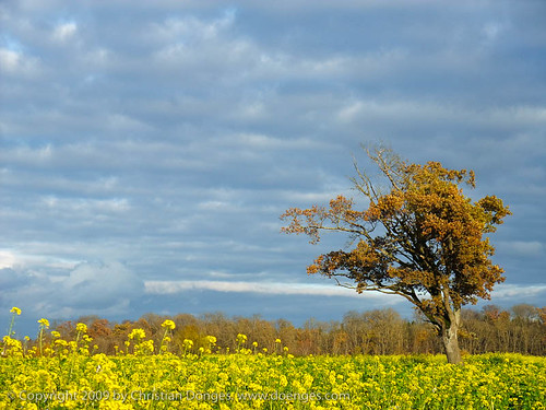 Oak Tree in a Rapeseed Field