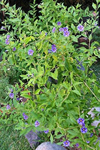 Solanum rantonnetii (rq) - 02