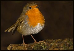 Robin. (anthonynixon17) Tags: robin coombeabbey