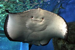 Wildlife - Stingray (Heaven`s Gate (John)) Tags: travel blue white fish black nature water smile animal dangerous underwater stingray wildlife sydney australia 10faves johndalkin heavensgatejohn sydneywildlifeworld estremit