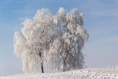 Frosted tree (bertrandwaridel) Tags: 2017 echallens january switzerland vaud winter frost snow trees suisse