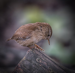 Inquisitive (Osgoldcross Photography) Tags: bird wren small tiny feathers plumage beak eye head wings tail perched wood log garden rspb rspboldmoor winter nature naturalhistory nikon nikond810 raw