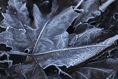 2016. (Jose_Pérez) Tags: hoja naturaleza nature color frio helada contraste cold frost leaf contrast