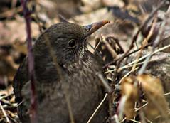 Avarban megbújó (Fidi73) Tags: tavasz madár rigó fekete turdus merula canon 600d ef 75300 magyarország vác liget smart photo editor