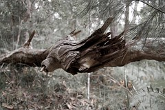 Splintered Branch (robpascoe) Tags: wood trees nationalpark branch splintered springbrooknationalpark