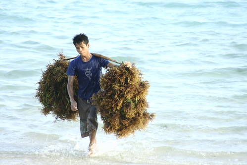 seaweed harvester in Kaliantan