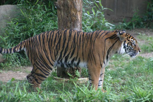 El Tigre. National Zoo, Wash. D.C