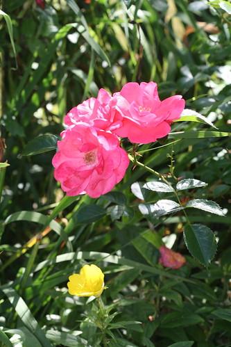 roses and primrose