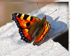 Small Tortoiseshell butterfly-Koerliblikas (Nymphalis urticae) (mastino0100) Tags: summer nature beautiful butterfly garden insect colorful estonia armas july aglaisurticae loodus aed juuli lilled nymphalisurticae vald liblikas koerliblikas vrviline kirju aiandus aednik