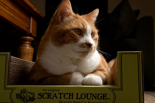 pet kitty scratchlounge