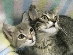 Washington on the Left and the *New* Lincoln on the Right, Tabby Kittens at Heartland Humane Society (Pixel Packing Mama) Tags: pretty lovely1 adorable excellent fv10 catsandkittensset capture catsandkittens v500 v700 50v5f catpix pixelpackingmama tabbycatspool dorothydelinaporter worldsfavorite cc500 catcentury views500pool montanathecat~fanclubpool bonzag kittenmagazine 20commentsanduppool 5favesandlessthan100viewswhenaddedpool cat500 favorites20pool greatpixgallery20favespool tabbycatsset justmoggiespool catscookiecatfriends~pool views700pool 500viewspool views1000andupdomesticcatsonlypool focusontheheadpool kittyfacefacesonlypool views501600pool thetabbycatgrouppool views701800pool 1025favouritespool catfacespool catcatscatzpool 700viewspool kittycatpeople4peoplewhoaremadaboutcatspool favupset loveofthefelinecommenttheshotonyourrightpool 50plusphotographersaged50andbetterpool canonpowershota720isiiistart070109set thecorvallisoregonyearspart8set uploadedsecondhalfof2009set canonallcanoniii~start070109set favup072509 kittytunafishawardinviteneededcongratspool excelentsuperbcongratulationsbutnoroomformoregroupsatthispoint omgpool uploadedsecondhalfof2009 moved081509fromfavupsettofavoritedpixvoliii~2ndhalfof2009set favoritedpixvoliii~2ndhalfof2009set allwelcomeiamsickofrulesandregulationsnewcontestpool brownshorthairtabbiespool moved123109fromfavupsettofavoritedpixvoliii~2ndhalfof2009set watchfor800 pixelpackingmama~prayforkyronhorman oversixmillionaggregateviews over430000photostreamviews