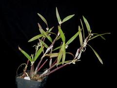 Scaphyglottis graminifolia (dwittkower) Tags: orchid flower flora orchids orchidaceae species orquideas orchidée scaphyglottis orqudea