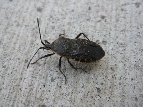 Squash Bug - Acanthocephala terminalis