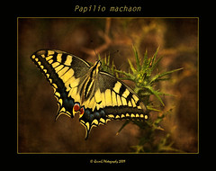 0186 Papilio machaon (QuimG) Tags: naturaleza macro nature butterfly spain europe favorites natura textures mariposa valncia papallona papiliomachaon thegoldengallery btera naturesgallery mywinners abigfave specialtouch citrit theunforgettablepictures diamondstars quimg betterthangood thesuperbmasterpiece trueessence multimegashot photoshopcreativo thedavincitouch flickrtextures colorsofthesoul doubledragonawards dragonflyawards magnificentmacros tumiqualityphotography gardenparadise quimgranell joaquimgranell mundosmagnficos jotbesgroup thelightpainterssocietygold boxofhappymemories richardsfloraandfauna 2mmsroyalstation gettyimagesspainq1