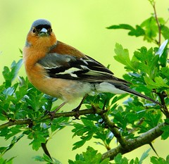 Cock Chaffinch (earlyalan90 away awhile) Tags: naturesfinest natureselegantshots vosplusbellesphotos