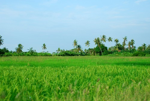 Tanjung Piandang Paddy Field