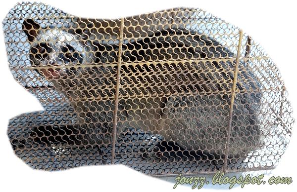 Civet Cat Caught