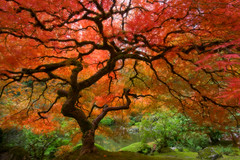 Japanese Maple (Re-Edit) (Jesse Estes) Tags: oregon portland japanese maple japanesemaple japanesegardens jesseestesphotography
