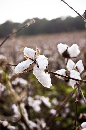 cotton in south georgia.