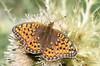 Niobe Fritillary upper wings (Jim_Higham) Tags: wild summer alps nature butterfly insect switzerland europe natural wildlife meadow alpine fritillary fee saas niobe
