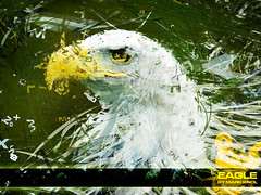 eagle (mark knol) Tags: abstract green bird art yellow freedom eagle mark flash generative strong powerful actionscript knol as3 markknol