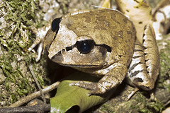 Great Barred Frog (WilliamBullimore) Tags: macro nature fauna wildlife australia frog queensland caloundra amphibean mixophyesfasciolatus greatbarredfrog atomicaward beerwahforestreserve