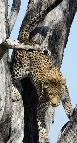 leopardoarbolgrande por ti.