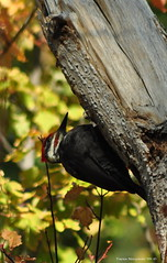 Male Pileated Woodpecker (Photography Through Tania's Eyes) Tags: park canada male bird animal photo woodpecker nikon photographer bc britishcolumbia okanagan wildlife picture photograph okanaganvalley pileatedwoodpecker regionalpark peachland hardyfalls copyrightimages malepileatedwoodpecker hardyfallsregionalpark taniasimpson