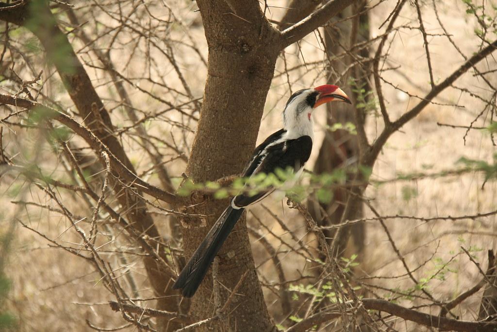 Male Von der Decken's Hornbill - Serengeti National Park, Tanzania