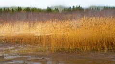 Reeds (finnarct) Tags: autumn sea plant painterly reed nature yellow season oulu seashore zone ecological blending ruska phragmitesaustralis commonreed gulfofbothnia permeri oulufinland finnarct