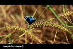Blue Pansy Butterfly.... (suhaaz Kechery) Tags: blue black grass butterfly dof dk qatar bluepansy canon450d dohakootam suhaaz