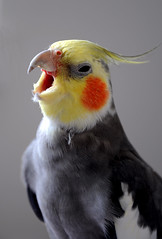 Cantante (socrates197577) Tags: fauna nikon uccelli soe animali hdr supershot mywinners impressedbeauty animalidivertenti