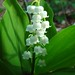 Photo: Lily-of-the-valley