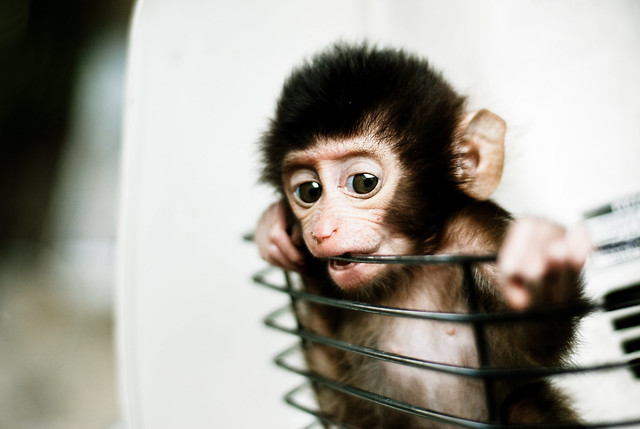 Baby Monkey in a Basket