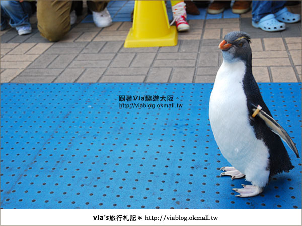 【via關西冬遊記】大阪海遊館~冬季限定!無敵可愛企鵝遊行來囉!13