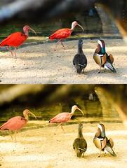 2.623 - Parque das Aves - Aos pares (Ricardo Cosmo) Tags: brazil birds brasil fauna 50mm nikon couple aves pajaros pairs lr passaros birdspark fozdoiguau iguassufalls pares parquedasaves mandarim photoscape ricardocosmo